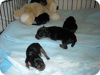 Rottweiler Mix Puppy for adoption in Fort Walton Beach, Florida - 39672