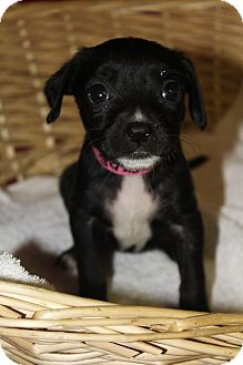 Labrador Retriever/Terrier (Unknown Type, Medium) Mix Puppy for adoption in Waldorf, Maryland - Cassie