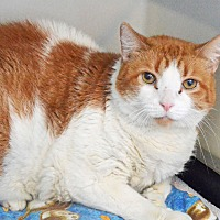 Domestic Shorthair Cat for adoption in Lincoln, Nebraska - Punkin