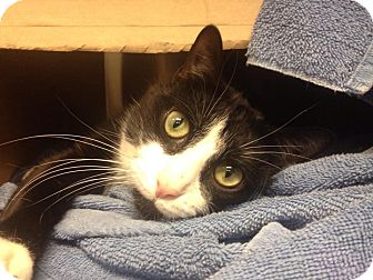 Domestic Shorthair Cat for adoption in Chicago, Illinois - Dexter