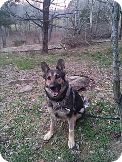 German Shepherd Dog Dog for adoption in Louisville, Kentucky - Sabrina