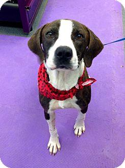 Hound (Unknown Type)/Spaniel (Unknown Type) Mix Dog for adoption in Avon, Ohio - Mingo
