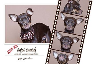 Italian Greyhound/Miniature Pinscher Mix Dog for adoption in Boston, Massachusetts - Butch Cassidy