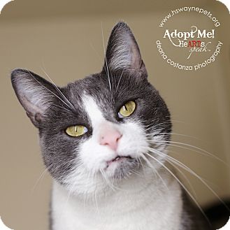 Domestic Shorthair Cat for adoption in Lyons, New York - Lucy