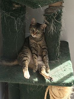 Domestic Shorthair Cat for adoption in Richboro, Pennsylvania - Paula Abdul