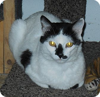 Domestic Shorthair Cat for adoption in Whiting, Indiana - Bozo
