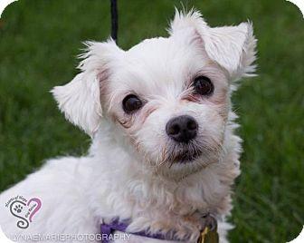 Maltese Dog for adoption in Grand Rapids, Michigan - Lola