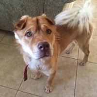 Chow Chow Mix Dog for adoption in Scottsdale, Arizona - Romeo2