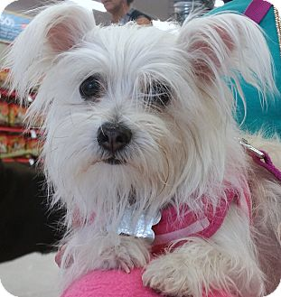 Yorkie, Yorkshire Terrier/Cairn Terrier Mix Dog for adoption in Phoenix, Arizona - Gracie
