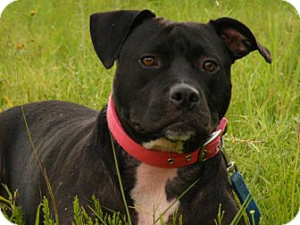 American Staffordshire Terrier/American Pit Bull Terrier Mix Dog for adoption in Covington, Tennessee - Meadow