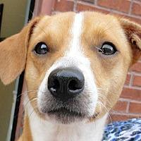 Dachshund/Beagle Mix Dog for adoption in Woodstock, Georgia - Jack