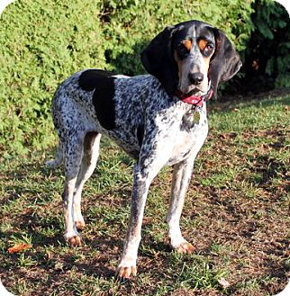 Bluetick Coonhound/Coonhound Mix Dog for adoption in Ontario, Ontario - Haley - ADOPTED!