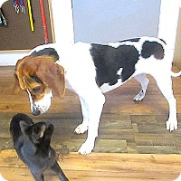 Treeing Walker Coonhound Mix Dog for adoption in Fayetteville, Tennessee - 17-d06-027 Holly