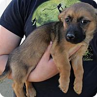 Adopt A Pet :: GIZMO'S PUPS B - Corona, CA