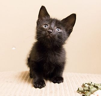 Domestic Shorthair Kitten for adoption in Chicago, Illinois - Jude
