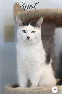 Domestic Shorthair/Domestic Shorthair Mix Cat for adoption in Gananoque, Ontario - Spot