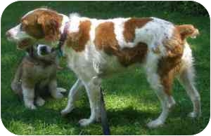 Brittany Dog for adoption in Buffalo, New York - Brittany - Rochester, NY