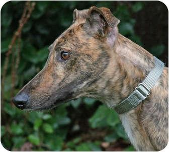 Greyhound Dog for adoption in Portland, Oregon - Racket