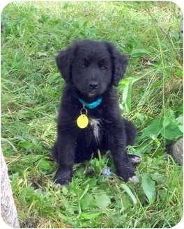 Border Collie/Labrador Retriever Mix Puppy for adoption in Westminster, Colorado - COSMOS