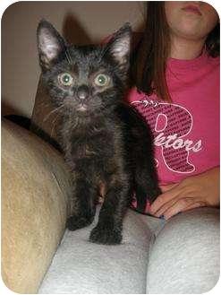 Domestic Shorthair Kitten for adoption in St. Louis, Missouri - Duke
