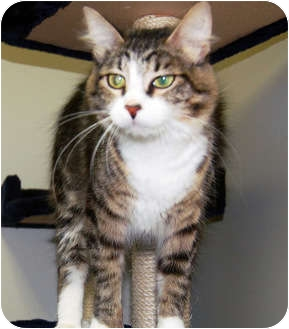 Domestic Mediumhair Cat for adoption in San Clemente, California - YVETTE
