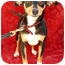 Photo 1 - Miniature Pinscher Mix Dog for adoption in Irvine, California - DOMI