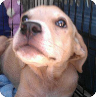 Cattle Dog/Labrador Retriever Mix Puppy for adoption in Phoenix, Arizona - Luna