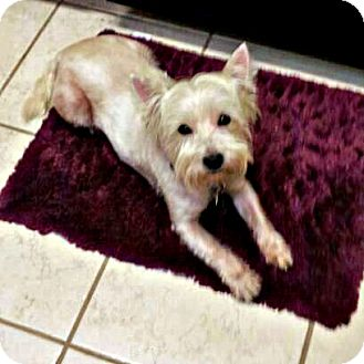 Westie, West Highland White Terrier Dog for adoption in Frisco, Texas - Abby