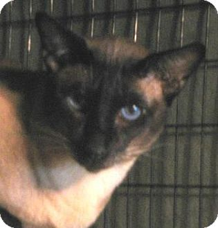 Siamese Cat for adoption in Davis, California - Tybalt
