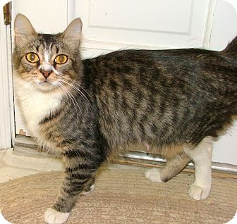 Domestic Mediumhair Cat for adoption in Chattanooga, Tennessee - Fiona