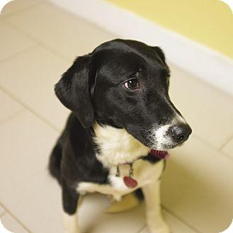 Collie/Retriever (Unknown Type) Mix Dog for adoption in Philadelphia, Pennsylvania - Missy