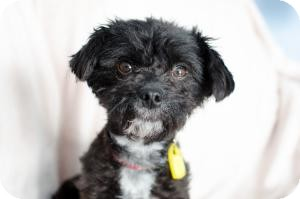 Poodle (Miniature) Mix Dog for adoption in Saskatoon, Saskatchewan - Rosie
