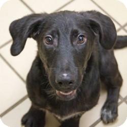 Basset Hound/Dachshund Mix Puppy for adoption in Eatontown, New Jersey - Oscar