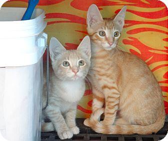 Domestic Shorthair Kitten for adoption in Escondido, California - Ed