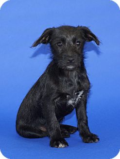 Terrier (Unknown Type, Small) Mix Puppy for adoption in Tustin, California - Little Johnny