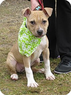 Pit Bull Terrier Mix Puppy for adoption in Voorhees, New Jersey - Shamrock