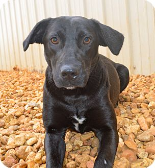 Labrador Retriever Mix Dog for adoption in Hagerstown, Maryland - Patsy