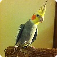 Adopt A Pet :: Chompers - Lenexa, KS