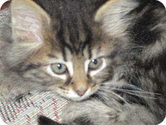 Domestic Longhair Kitten for adoption in Columbus, Ohio - Bella