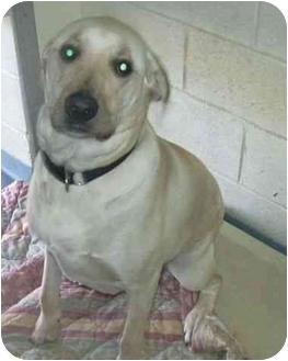 Labrador Retriever Dog for adoption in West Warwick, Rhode Island - Moose