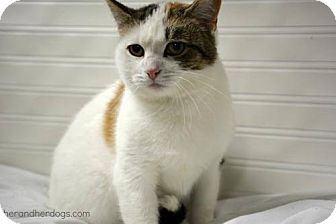 Domestic Shorthair Cat for adoption in THORNHILL, Ontario - Pastel