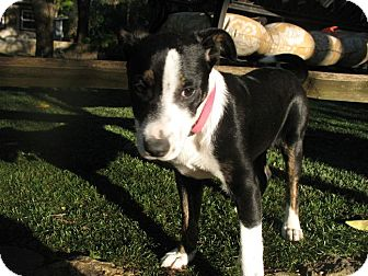 Border Collie Mix Puppy for adoption in Corning, California - ABBY