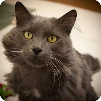 Domestic Longhair Cat for adoption in Denver, Colorado - Fin