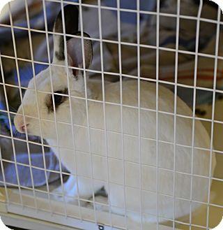 Dutch Mix for adoption in Gardnerville, Nevada - Mickey