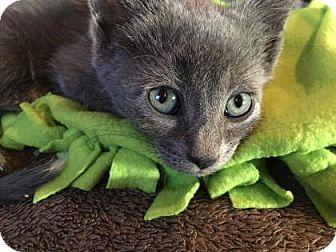 Russian Blue Kitten for adoption in Fountain Hills, Arizona - XAVIER