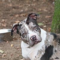 Catahoula Leopard Dog Mix Dog for adoption in Brookhaven, New York - Nova