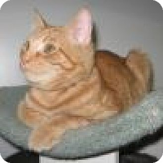 Domestic Shorthair Cat for adoption in Powell, Ohio - Cheddar