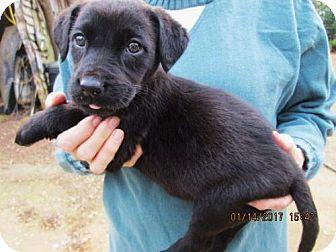 Labrador Retriever/Husky Mix Puppy for adoption in Lincolndale, New York - NORA