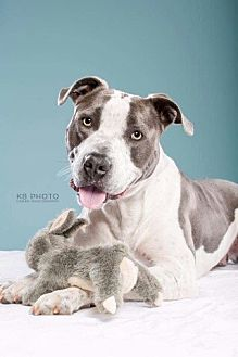 American Bulldog/American Pit Bull Terrier Mix Dog for adoption in Knoxville, Tennessee - Bruno