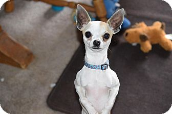 Chihuahua Mix Dog for adoption in Rosamond, California - Dixie